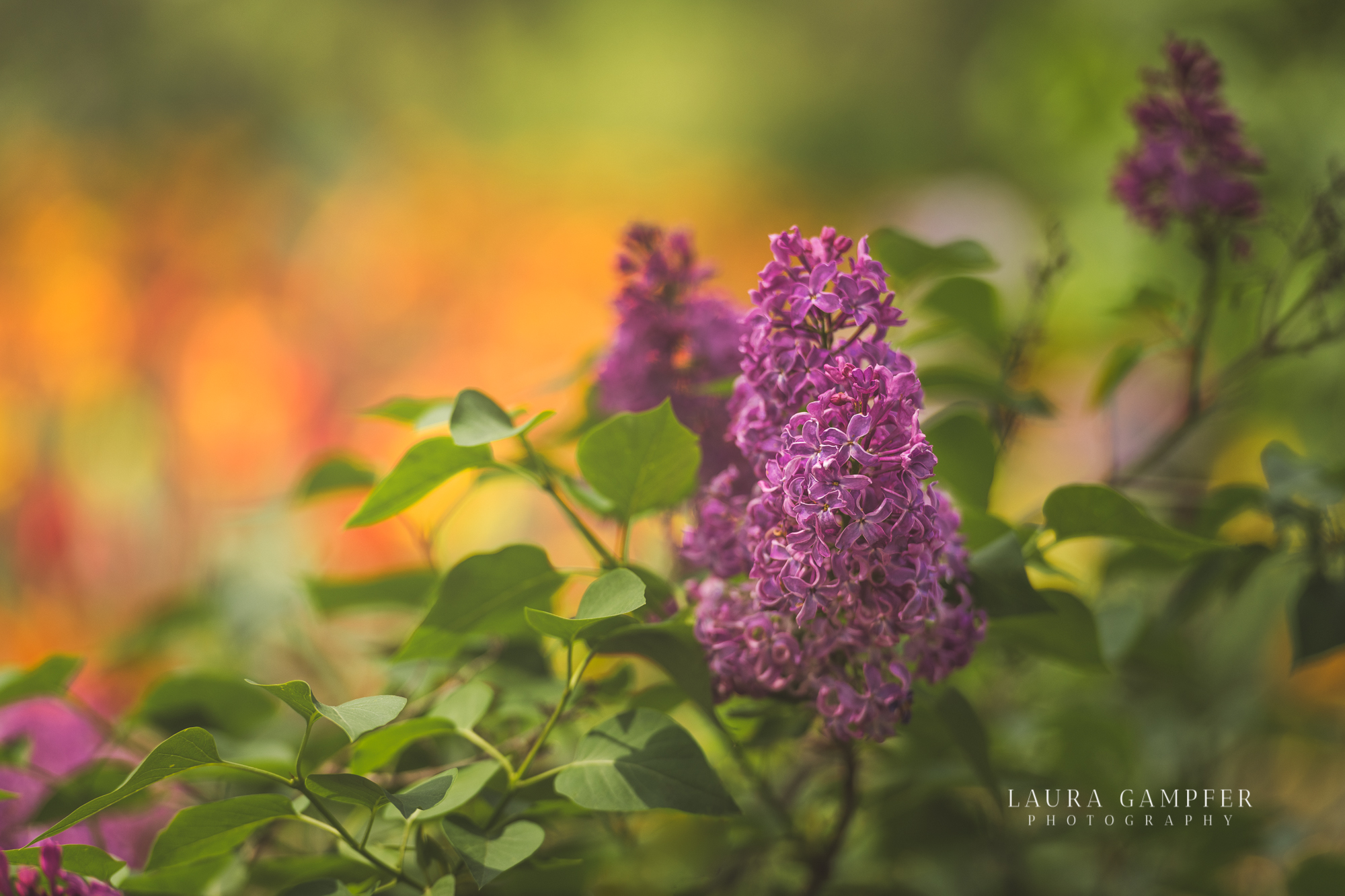 flower-photography-dupage-county-il-lilacia-park