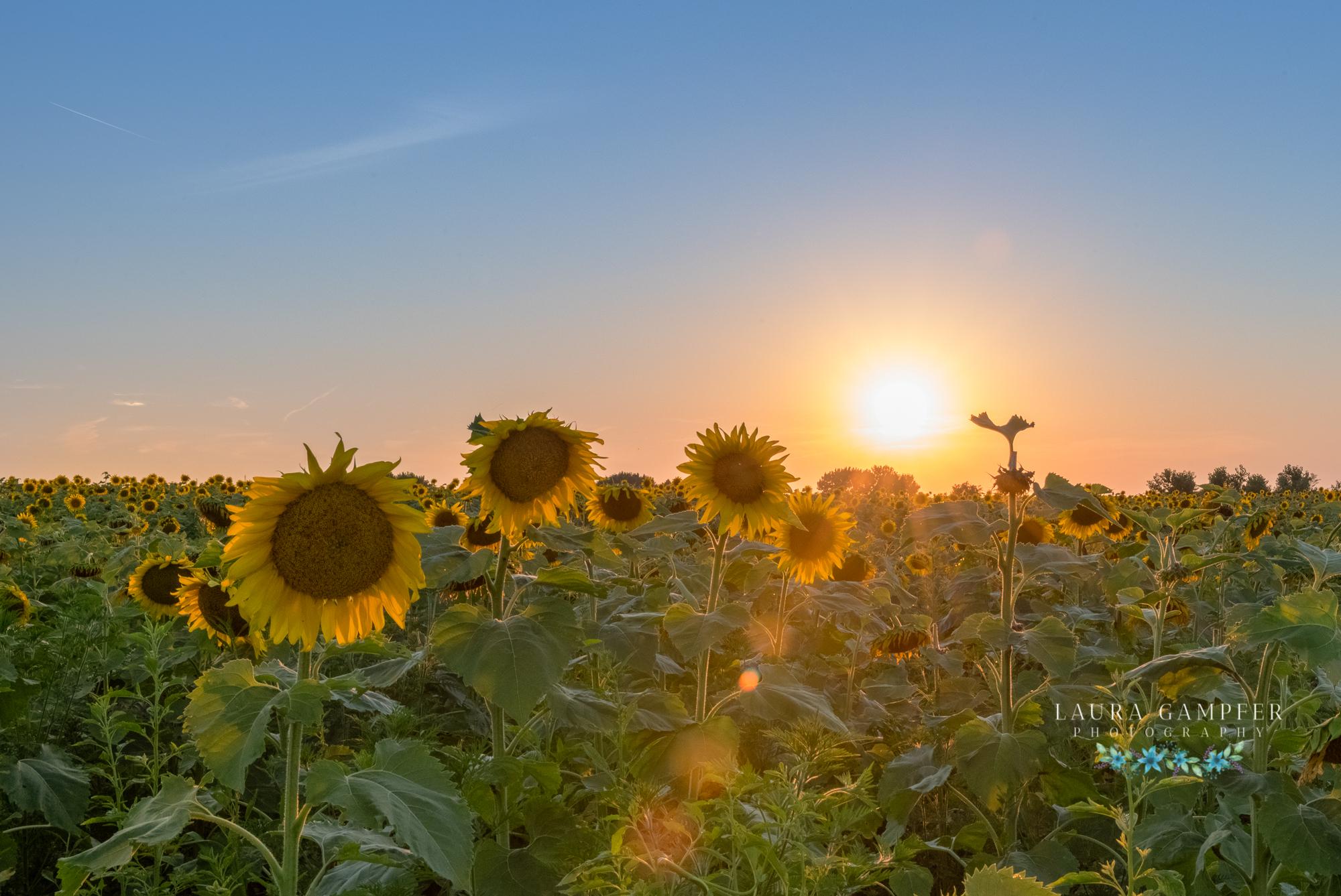 illinois sunflower field