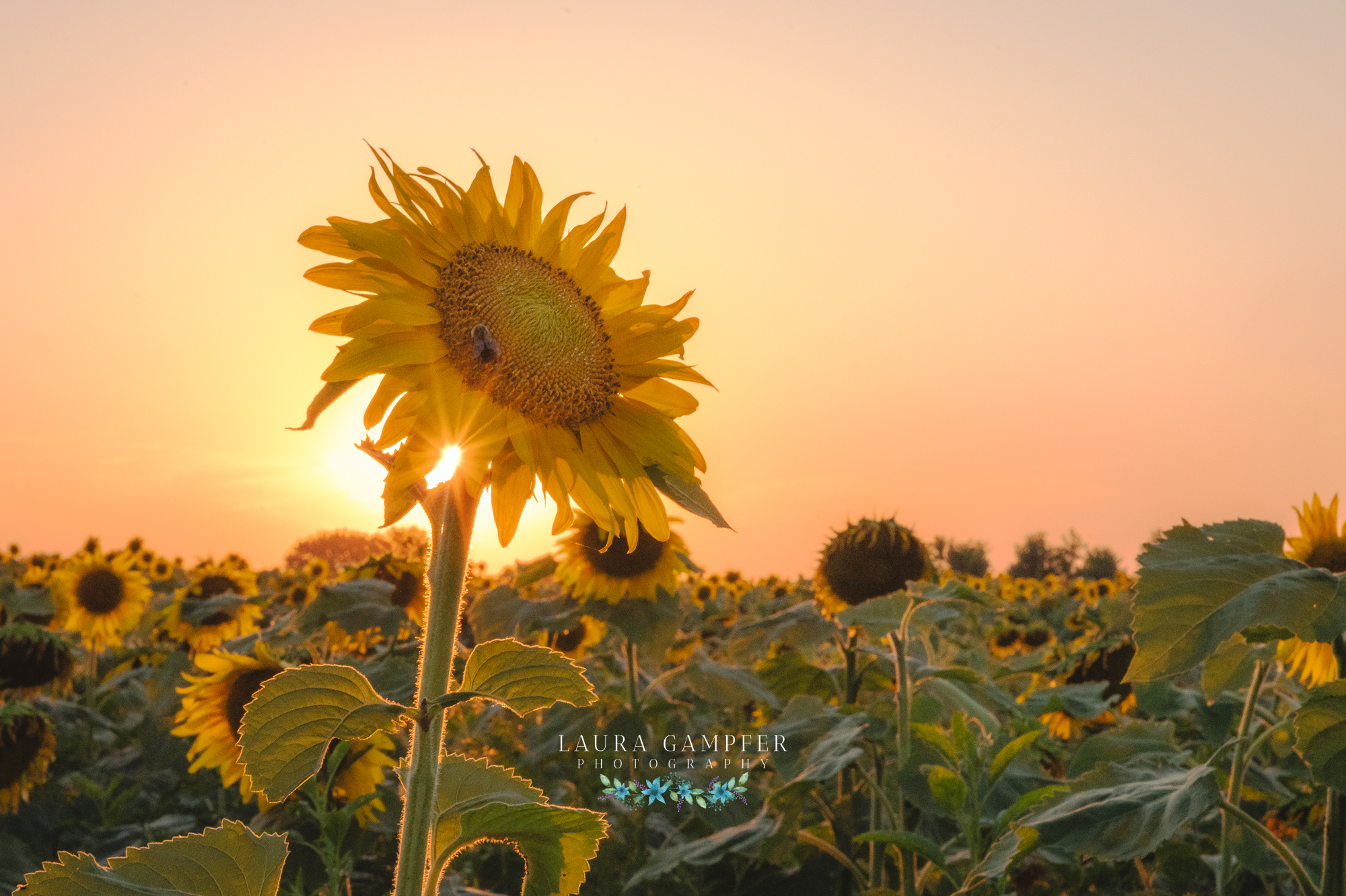 sunflower-field-illinois-laura-gampfer-photography