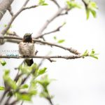 bird-photographer-elburn-kane-county-illinois