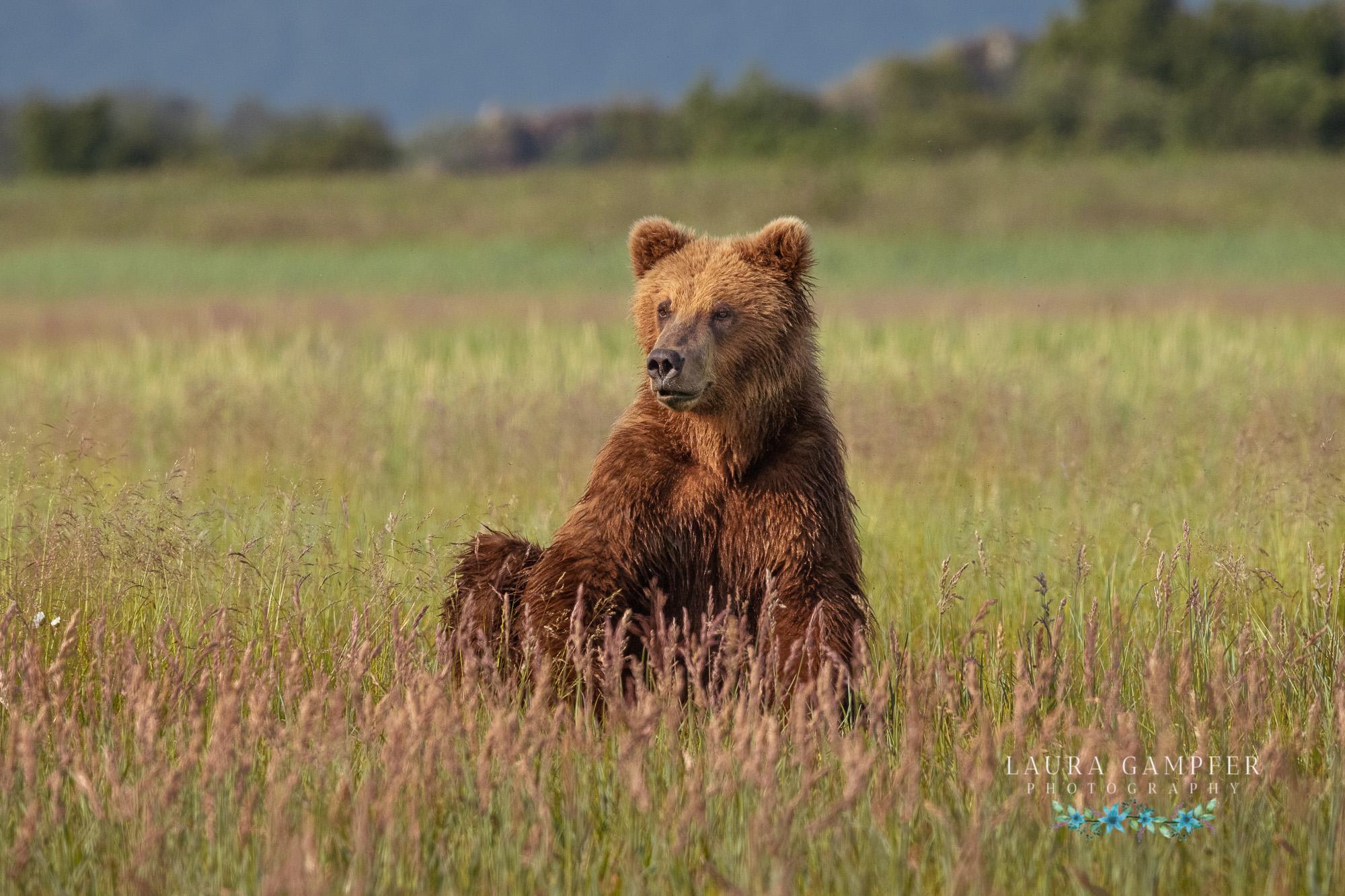 alaska grizzly bear photography