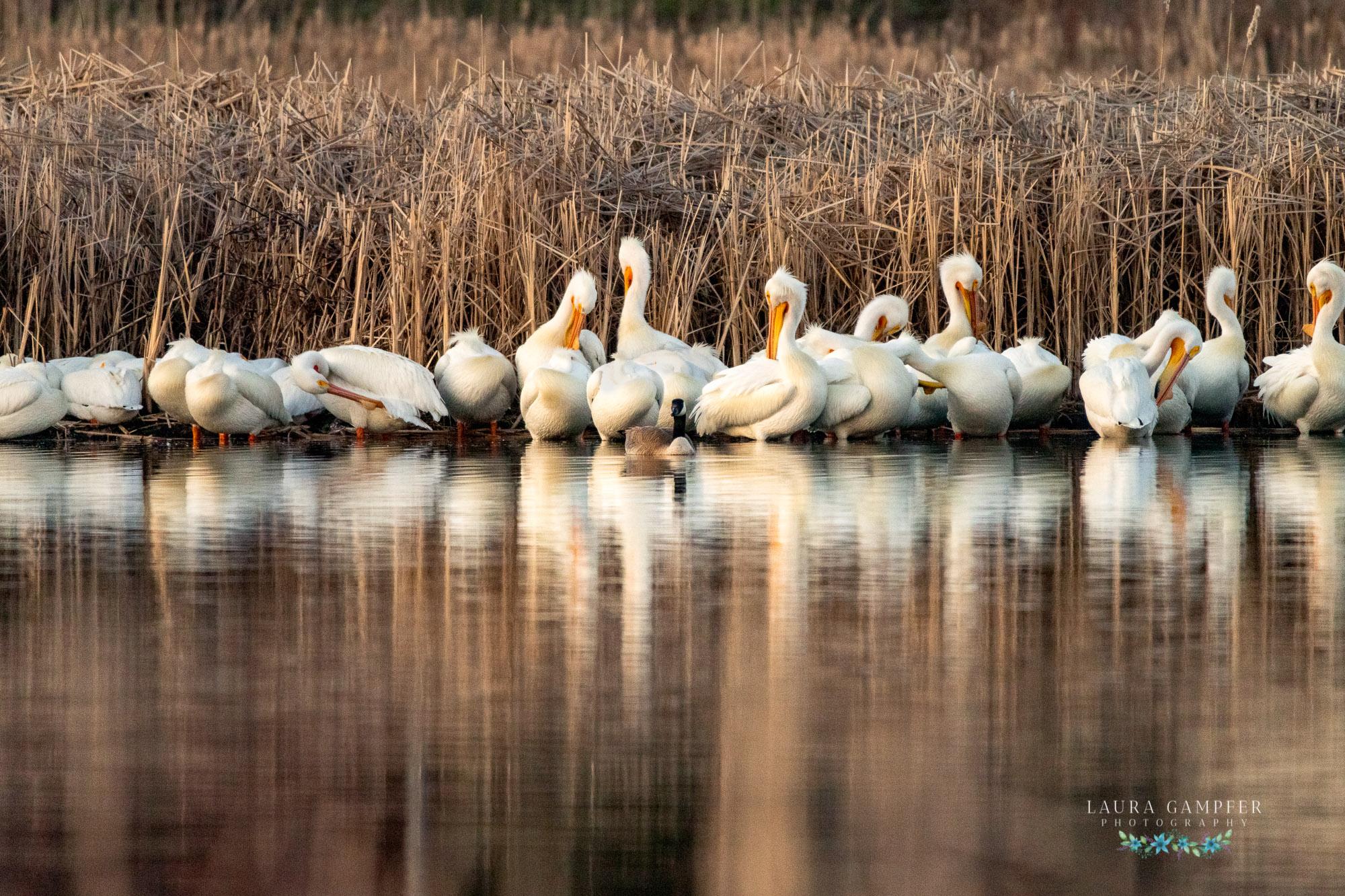 pelicans kane county illinois