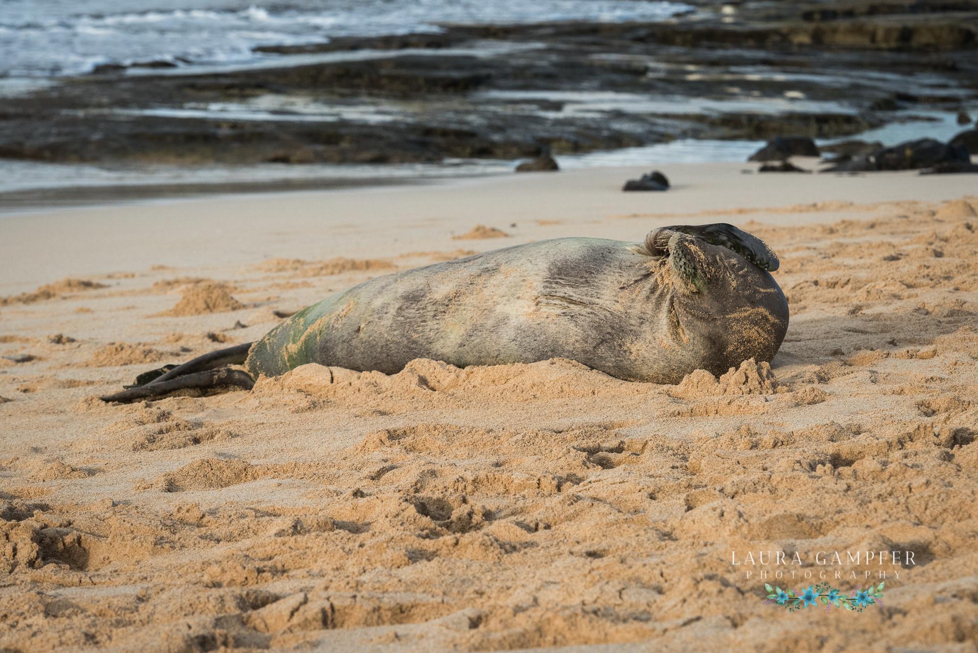hawaiian monk seal kauai laura gampfer photography
