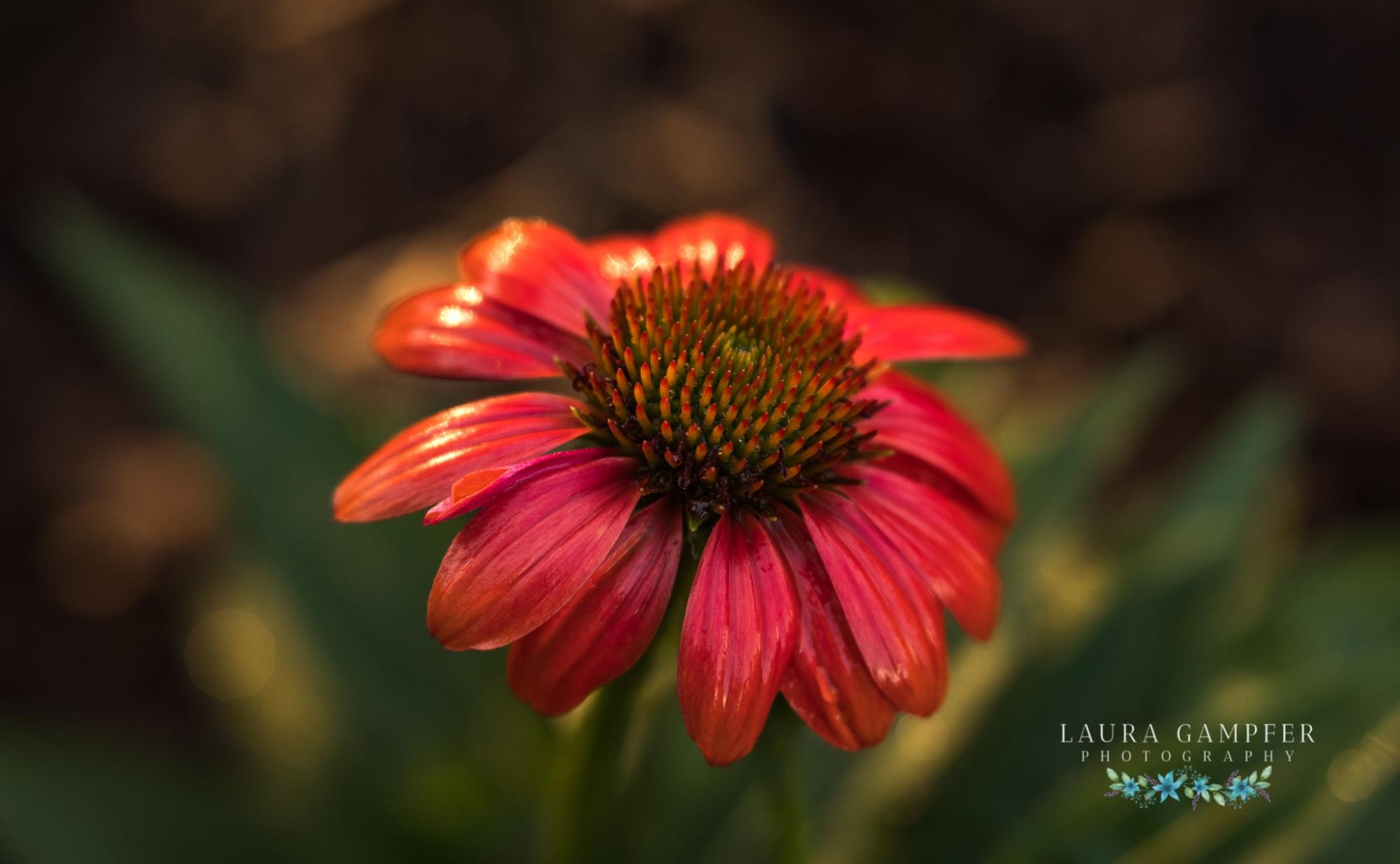 illinois flower photographer
