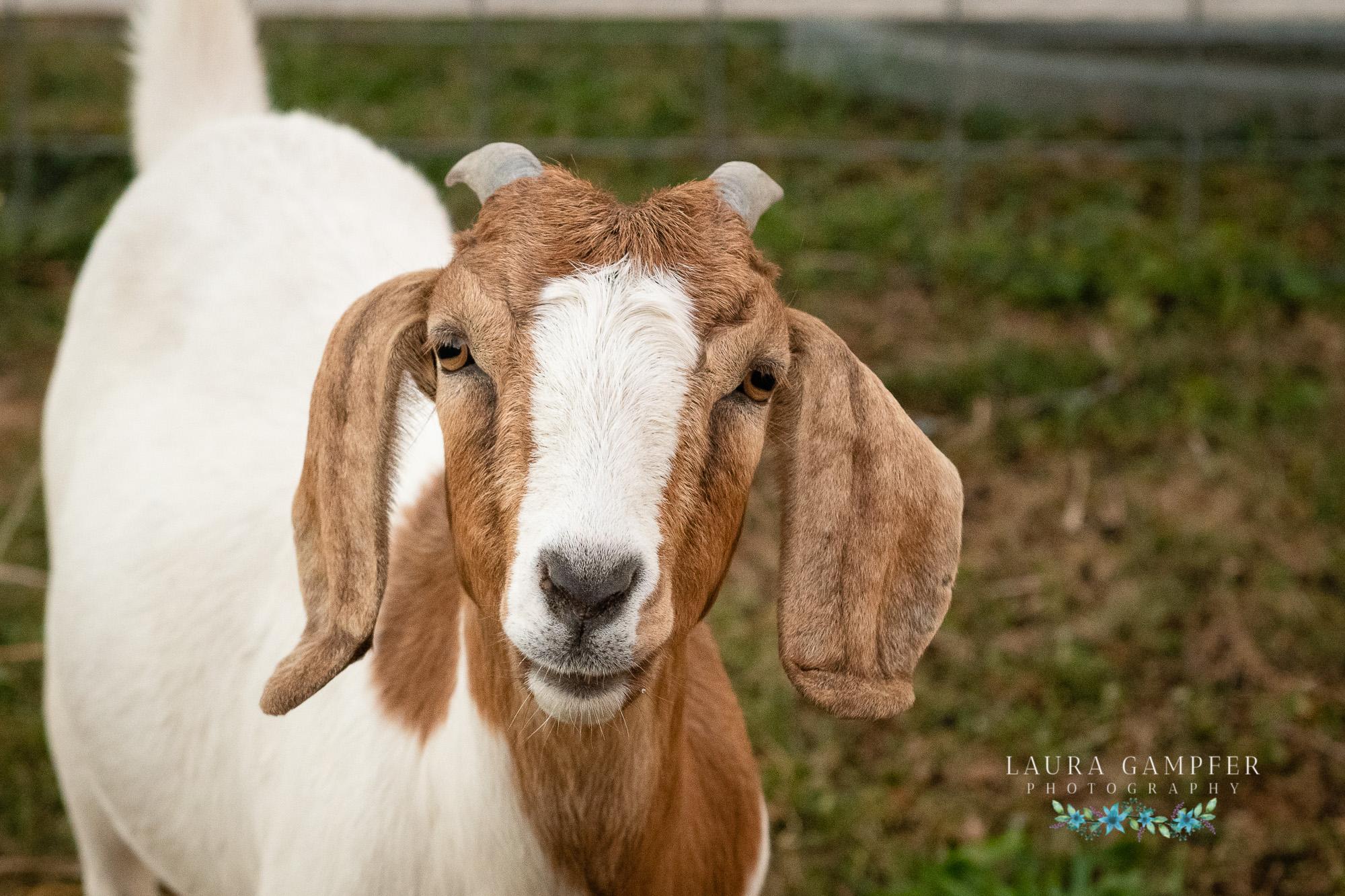 Goat and Farm Animal Photographer Kane DuPage DeKalb Kendall Illinois