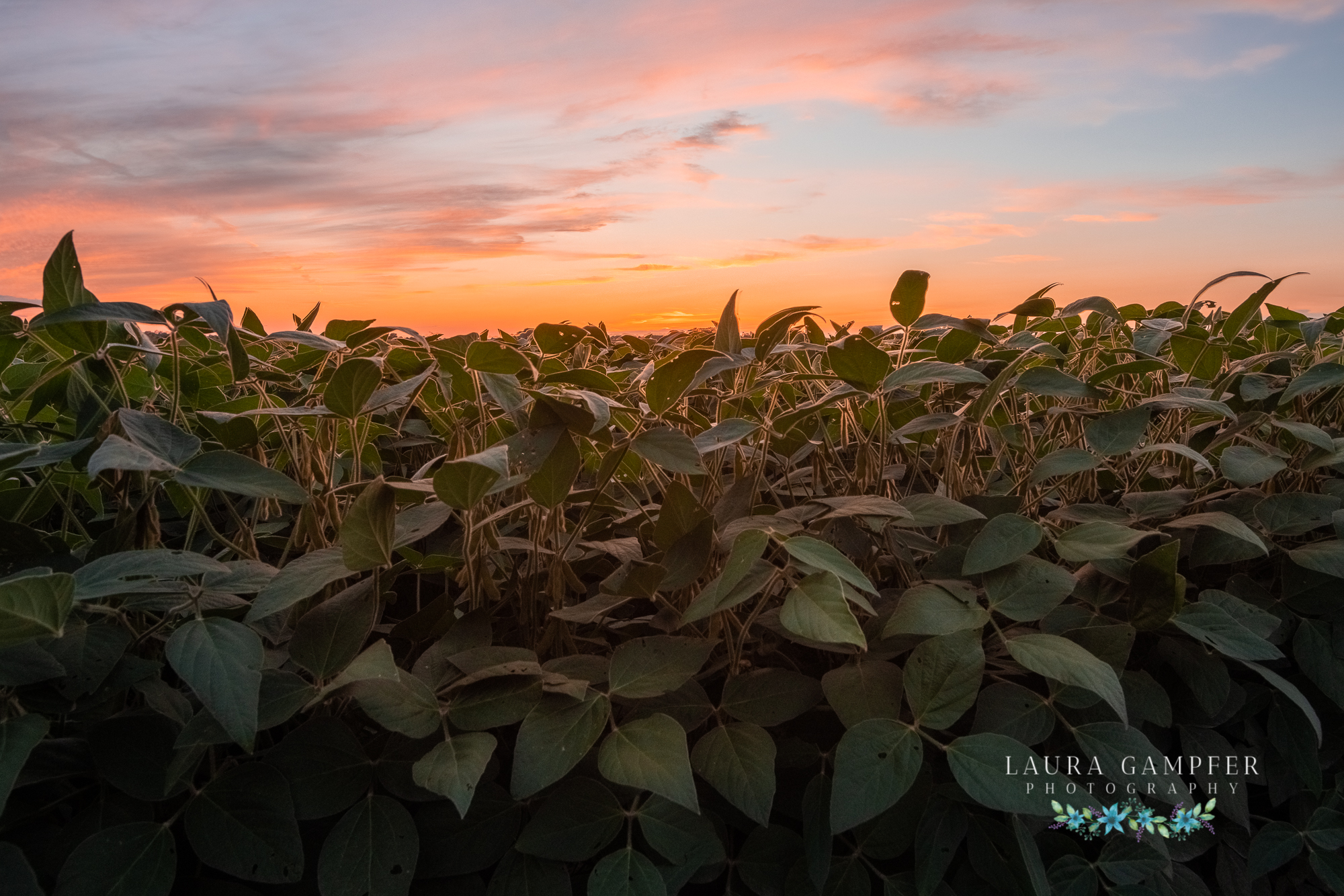 Illinois farm photography soybeans sunset