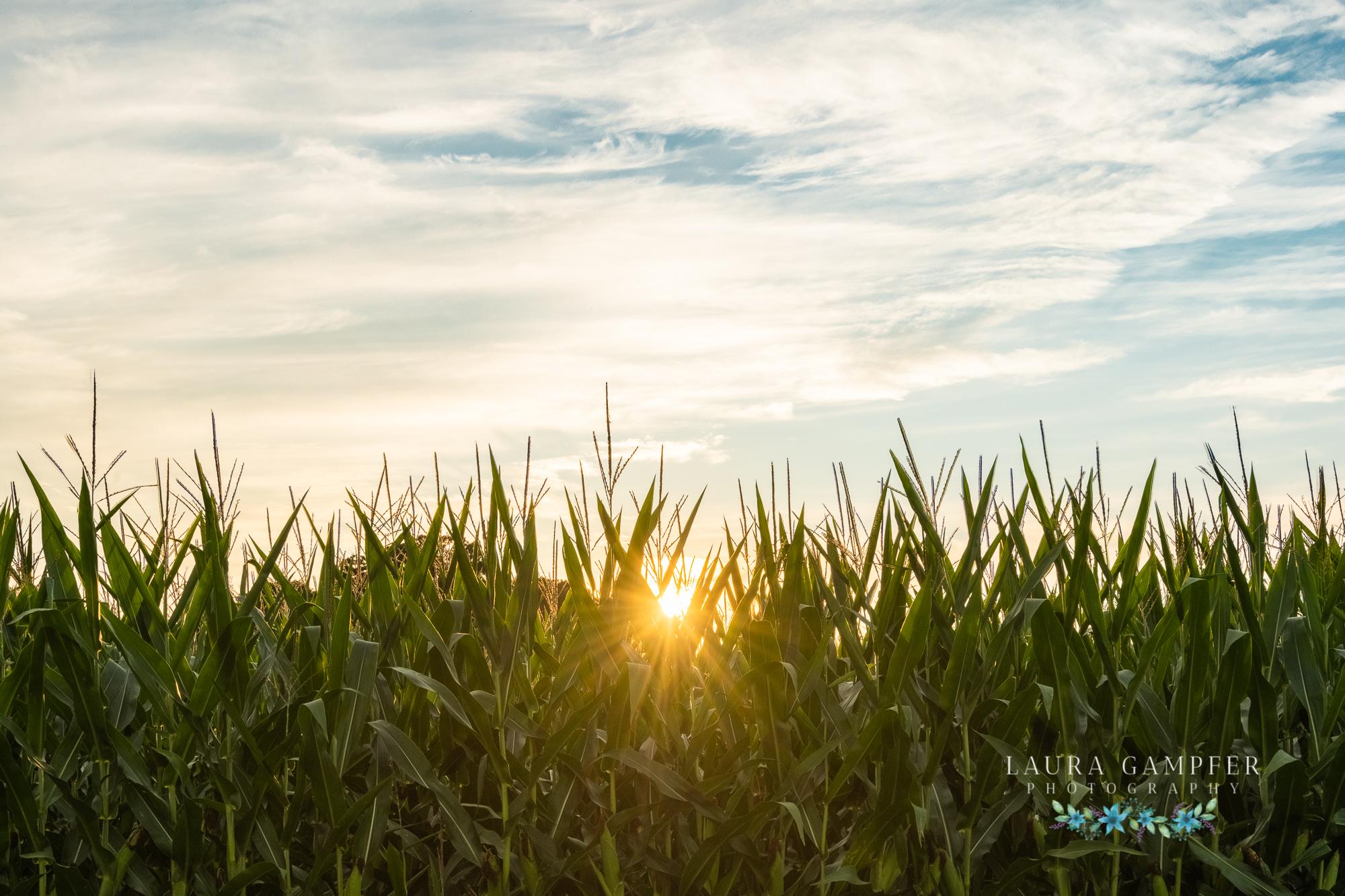Illinois sweet corn photography