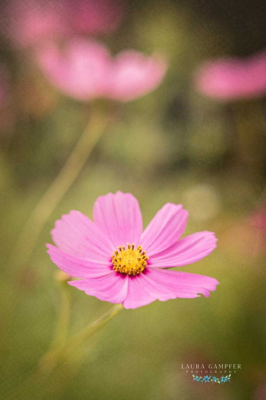 illinois flower photographer Laura Gampfer