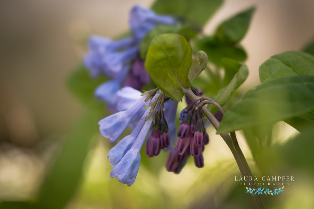 Virginia bluebells northern Illinois