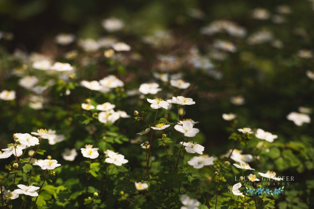 false rue anemone wildflowers