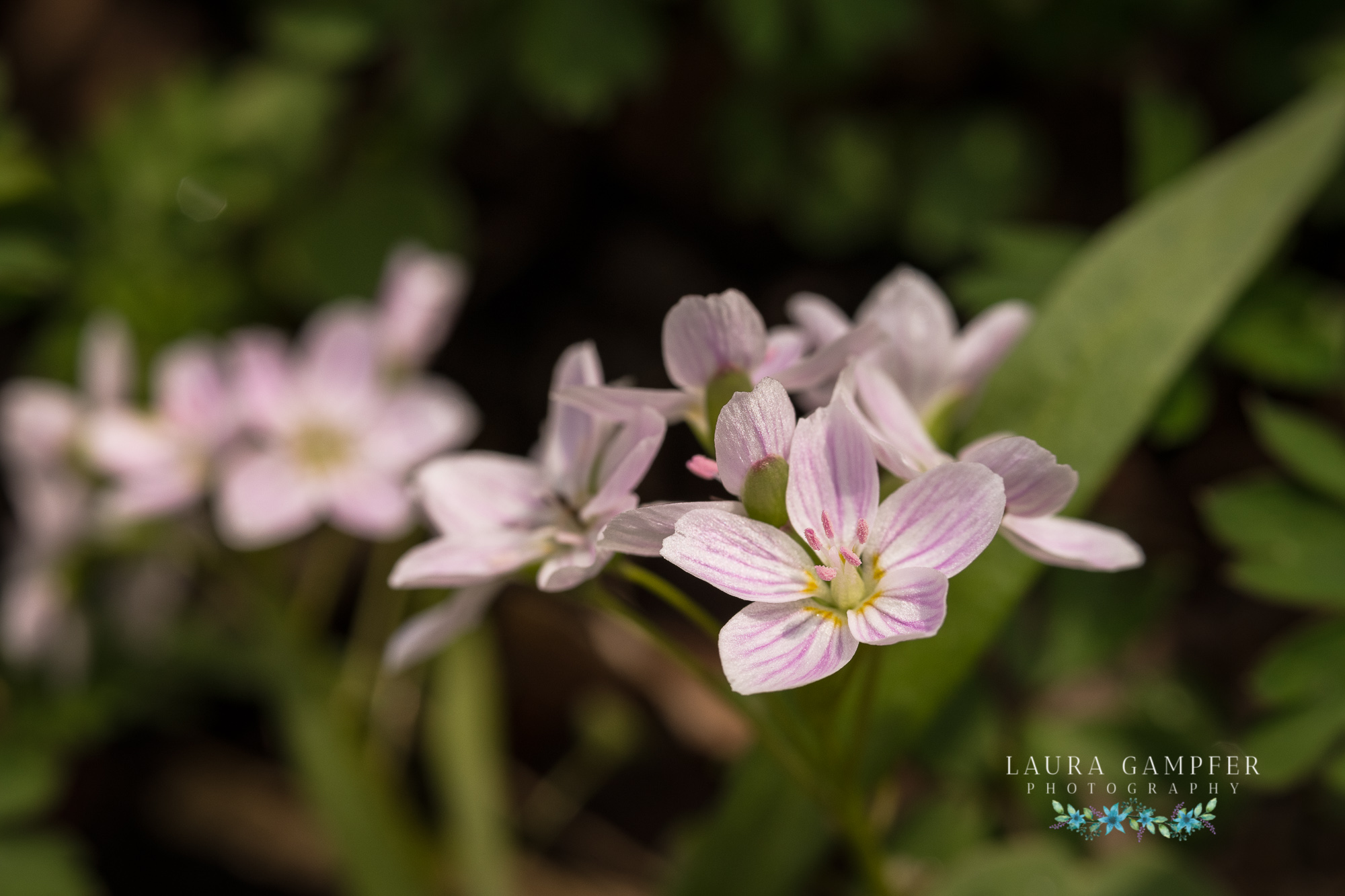 illinois forest preserve wildflowers spring beauty