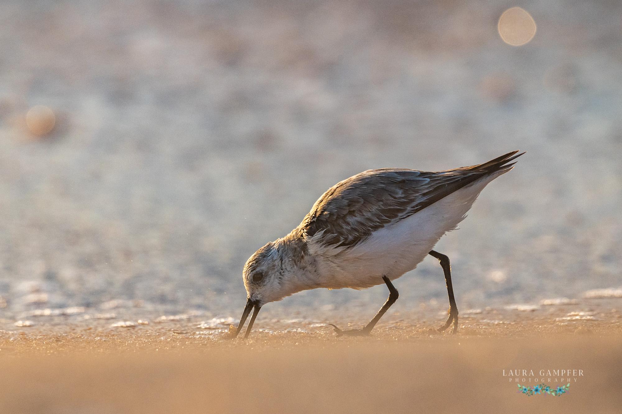 sanderling bird florida