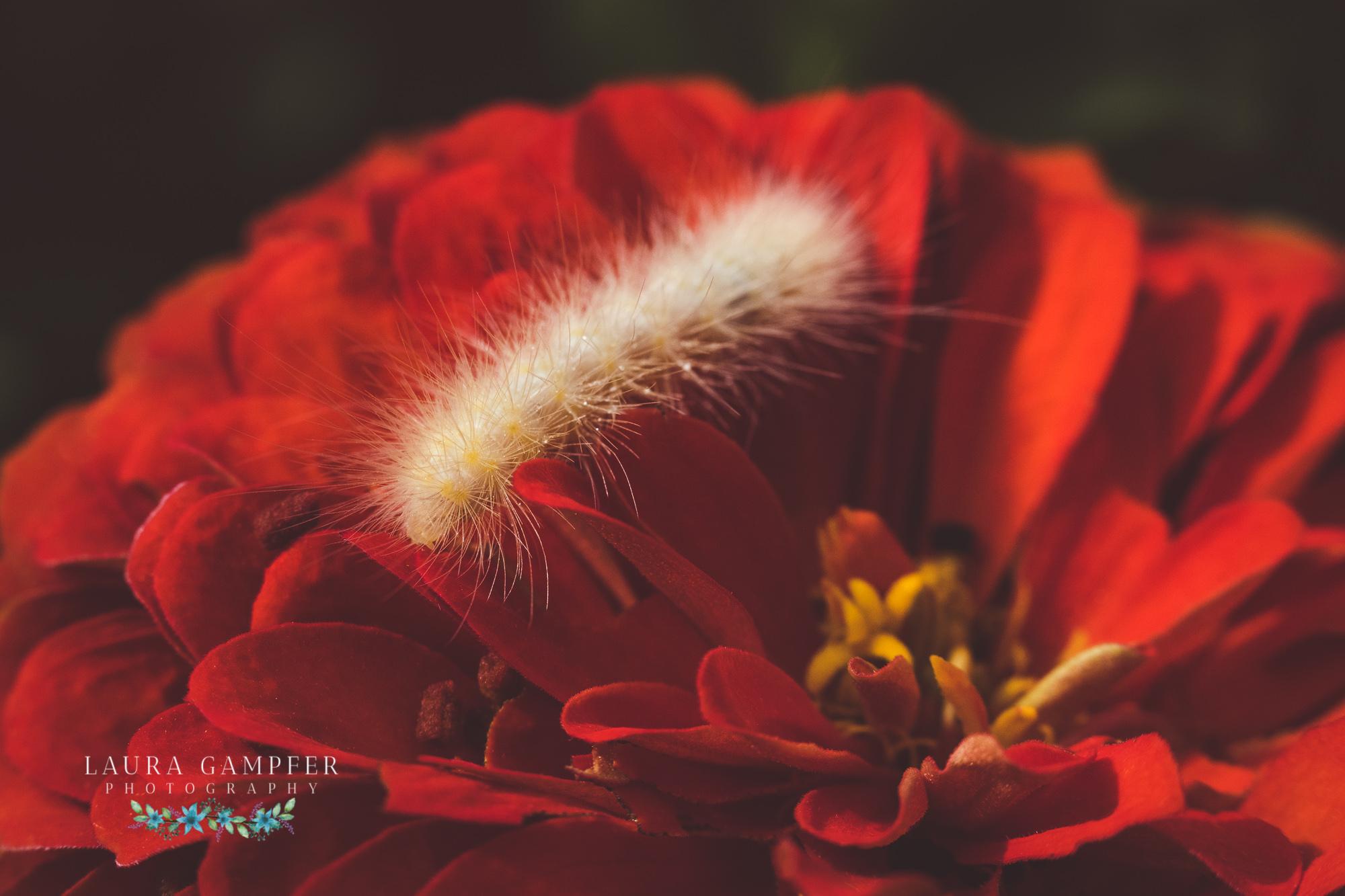 Yellow wooly bear caterpillar kane county illinois