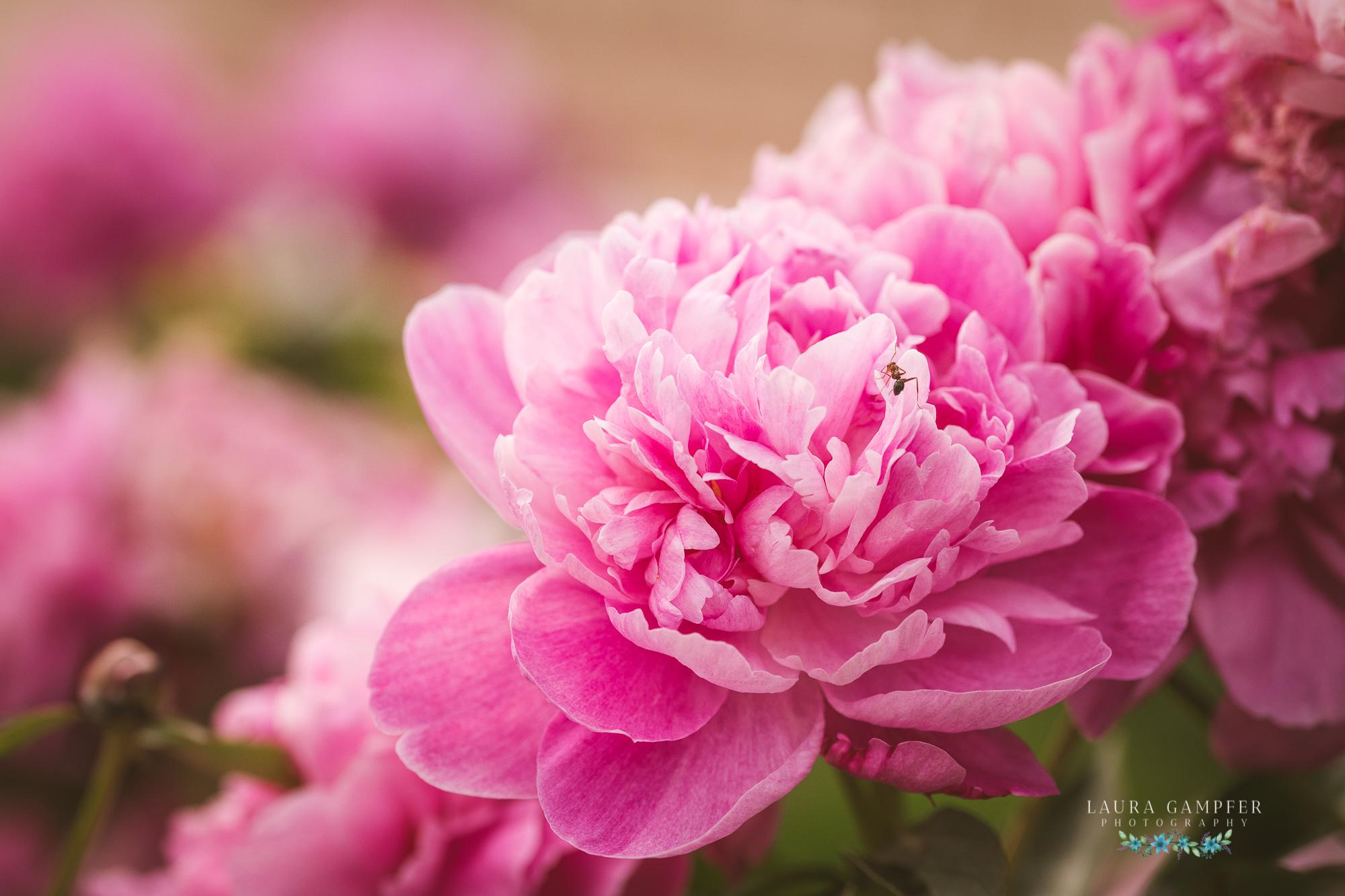 pink peony flowers photo