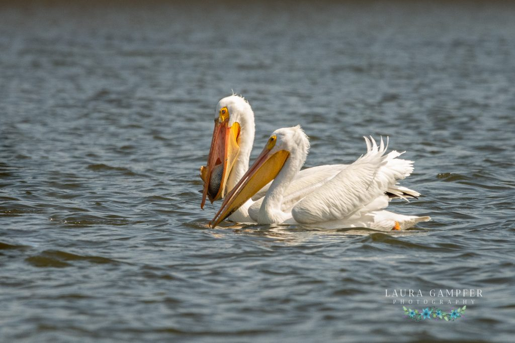 pelicans Kane County IL