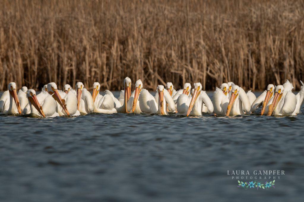 American white pelicans Kane County IL