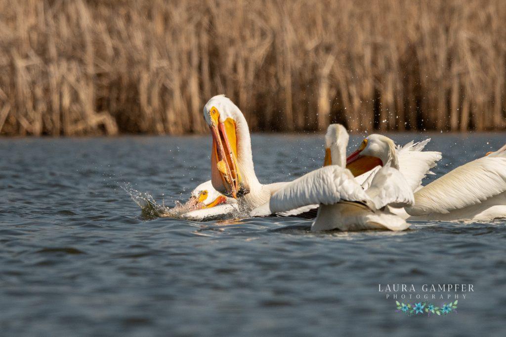 American white pelicans Kane County IL wildlife
