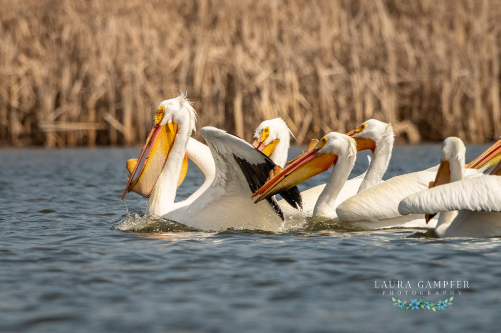 pelicans Kane County IL wildlife