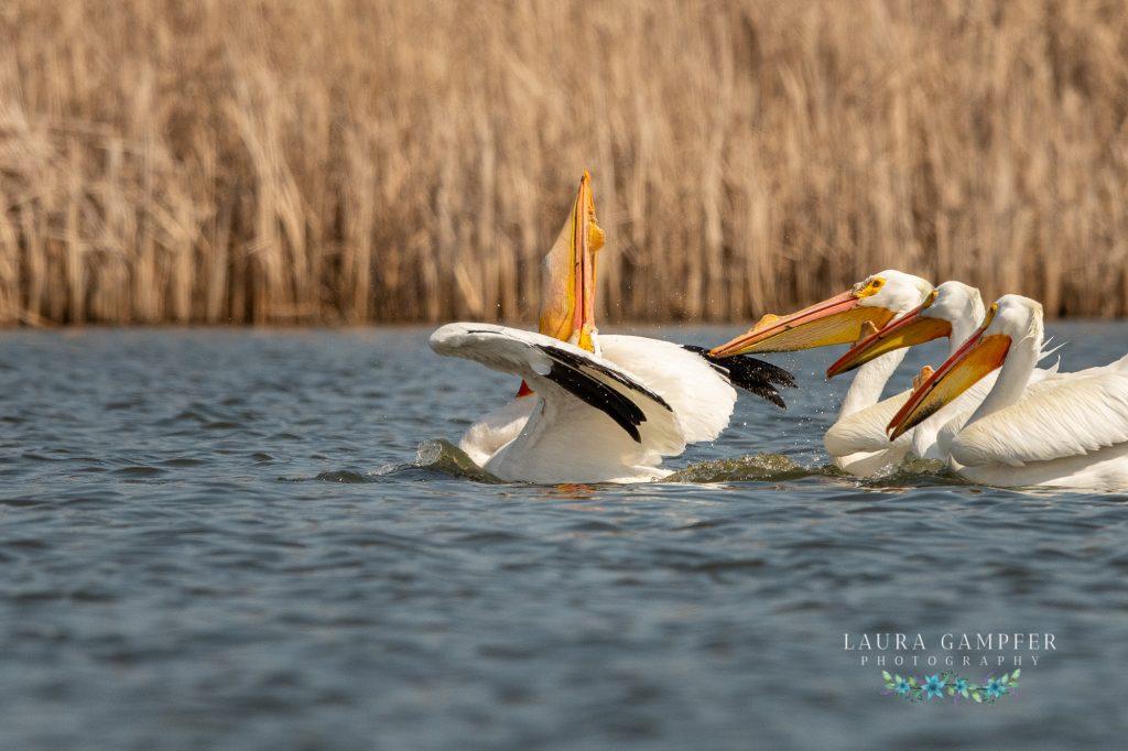 Kane County IL wildlife pelicans
