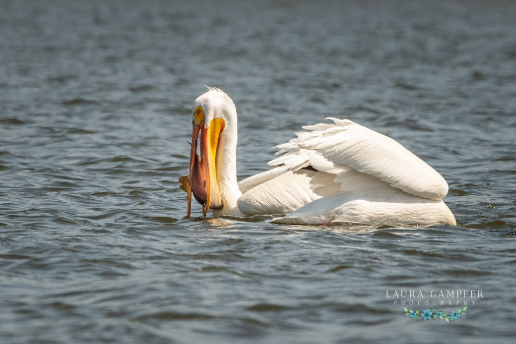 American white pelicans Kane County IL