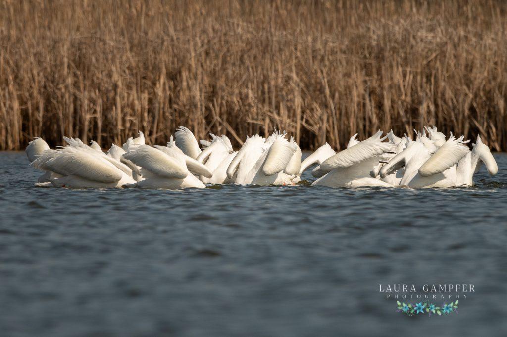 white pelicans Kane County IL