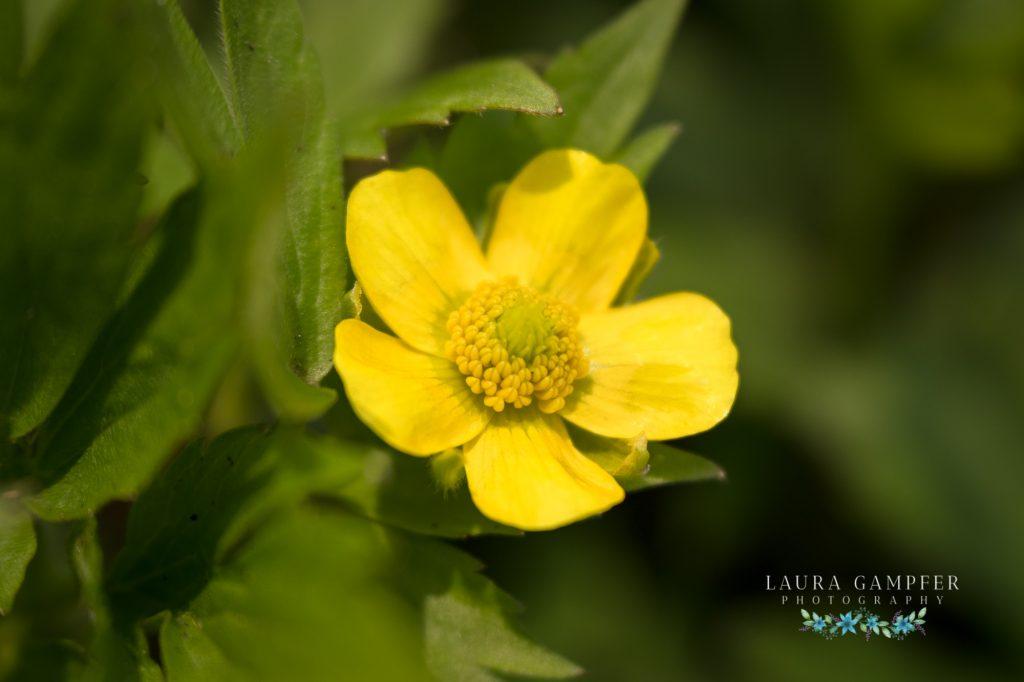 swamp buttercup flower